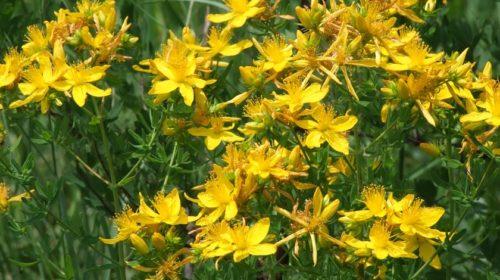 Třezalka tečkovaná (Hypericum perforatum) – svatojánská kouzelnice